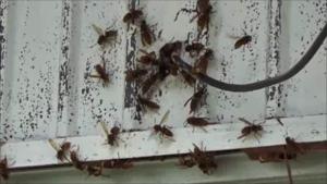 矢吹町で壁の巣から出てきたスズメバチ.png