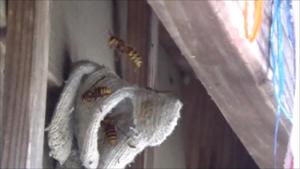 矢吹町で軍手に群がるスズメバチ.png