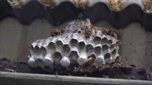 矢吹町で軒下のアシナガバチの巣.png
