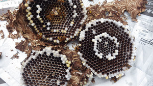 石川町で駆除したスズメバチの巣.jpg