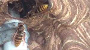 磐梯町でスズメバチが出入りする壁の巣穴.png