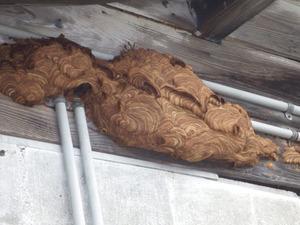 磐梯町で壁に奇妙な形をしたスズメバチの巣.jpg