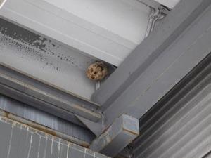 社員通用口の真上にあるコガタスズメバチの巣(郡山市).jpg