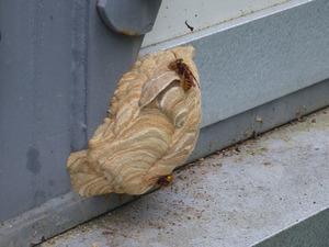 福島市でスズメバチの巣-母巣.jpg