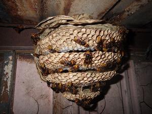福島市でスズメバチの巣を駆除.jpg