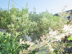 福島市で庭木のスズメバチの巣.jpg