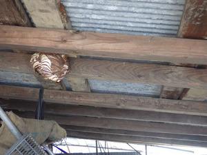 福島市で物置天井に作ったコガタスズメバチの巣.jpg