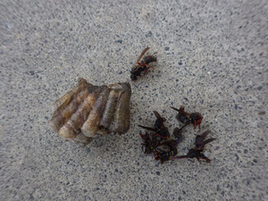 窓枠の裏側にあったセグロアシナガバチの巣を駆除(郡山市).jpg