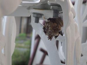 窓枠の裏側にあったセグロアシナガバチの巣(郡山市).jpg