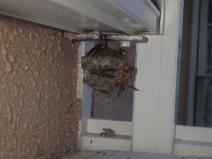 窓枠の裏側にあったセグロアシナガバチの巣(須賀川市).jpg