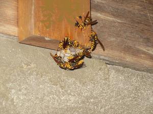表札に作った巣に群がるキアシナガバチ 伊達市、8月上旬