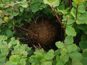 西郷村で庭木のスズメバチの巣.jpg