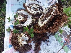 西郷村で駆除したスズメバチの巣.jpg