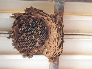 越冬していたオオスズメバチの女王蜂 郡山市、3月16日.jpg
