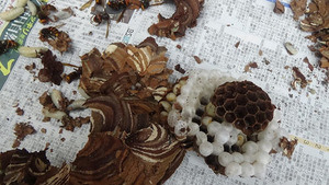 軒下に作ったコガタスズメバチの巣を駆除(須賀川市).jpg