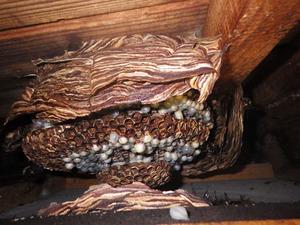 軒裏天井に底ぬけしたモンスズメバチの典型的な巣(喜多方市).jpg