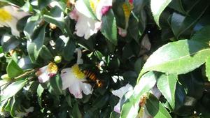 郡山市でサザンカの花に来たオオスズメバチ.jpg