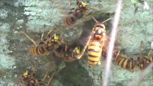 郡山市でスズメバチが墓石の穴から出入り.jpg