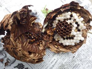 郡山市でスズメバチの巣を駆除.jpg