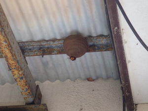 郡山市でトックリ型のコガタスズメバチの初期巣.jpg