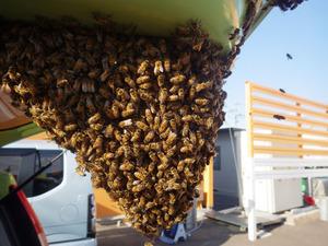 郡山市でミツバチの分蜂群.jpg