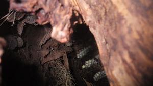 郡山市で切り株内部のオオスズメバチの巣.jpg
