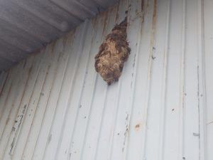 郡山市で壁に不定形のスズメバチの巣.jpg