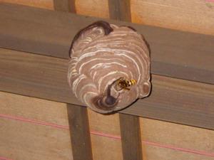 郡山市で玄関の天井のスズメバチの巣.jpg
