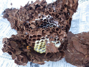 郡山市で駆除したスズメバチの巣.jpg