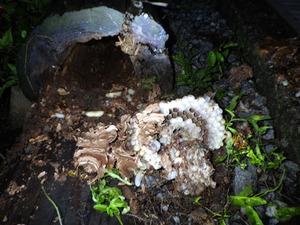 郡山市で駆除したスズメバチの母巣.jpg