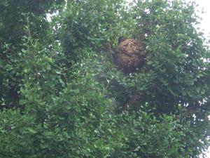 郡山市で高所のスズメバチの巣.jpg