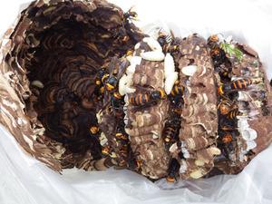 郡山市で高校の中庭の樹木に作られたコガタスズメバチの駆除した巣(福島県).jpg