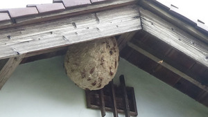 郡山市で2階軒下のスズメバチの巣.jpg