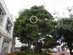郡山市にある高校の中庭の樹木に作られたスズメバチの巣(郡山市).jpg