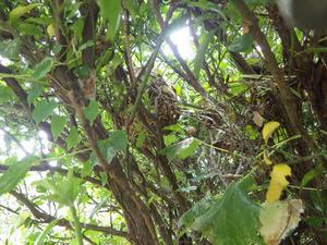 須賀川市で生垣の中のスズメバチの巣.jpg