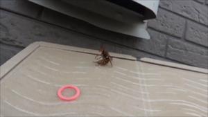須賀川市で粘着板で捕虫したスズメバチ.png