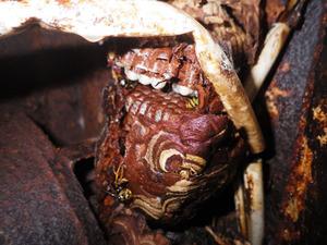 飯館村で壊れた電気器機の中のスズメバチの巣.jpg