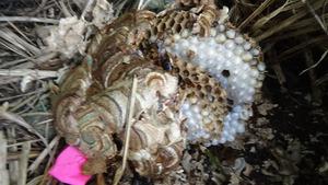 飯館村で駆除したスズメバチの巣.jpg