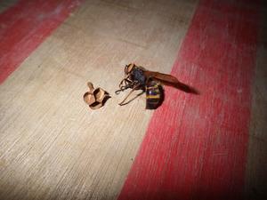 駆除されたヒメスズメバチの女王蜂とその巣(会津若松市、2015年6月4日).jpg