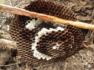 駆除に失敗したという巣を再駆除して掘り出したオオスズメバチの巣(郡山市).jpg