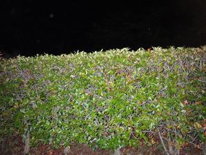 駆除に失敗したスズメバチの巣があるベニカナメの生垣(福島県三春町).jpg