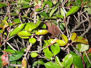 駆除を失敗した生垣の中にあるキイロスズメバチの巣(福島県三春町).jpg