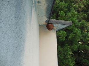 高い建物の軒先に作ったキイロスズメバチの巣 喜多方市、7月下旬