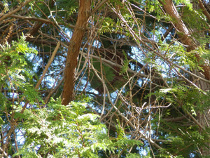 高い木の高所に枝葉に隠れてあったコガタスズメバチの巣(福島県川俣町).jpg