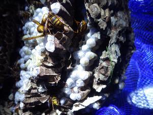 高い軒下にあった大きなキイロスズメバチの巣を駆除(福島県中島村).jpg