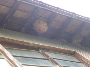 2階建て納屋の軒下にあったキイロスズメバチの巣(福島県磐梯町).jpg