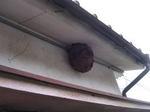 1階の軒下に作ったキイロスズメバチの巣(福島県郡山市、2008年9月下旬).jpg