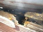 キイロスズメバチがトタン屋根のハフの穴から出入り(福島県白河市、2009年8月上旬).jpg