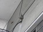 キイロスズメバチが引き込み線用の穴に出入りする様子(福島県郡山市、2009年7月下旬).jpg