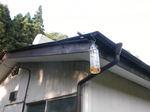 キイロスズメバチが空家のトタン屋根のすき間から出入り(福島県白河市、2009年8月上旬).jpg